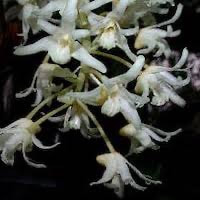Team event corporate Bulbophyllum Laxiflorum orchids of singapore perfume workshop team building ingredient singapore great scent fragrance