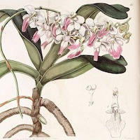 Diacattleya Pink orchids of singapore perfume workshop team building ingredient singapore great scent fragrance