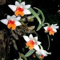Dendrobium bellatulum Rolfe Perfume essential oil. Used by Singapore memories and jetaime perfumery as therapeutic orchid oil of asia