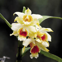 Dendrobium cariniferum Rchb. f. Perfume essential oil. Used by Singapore memories and jetaime perfumery as therapeutic orchid oil of asia