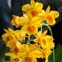 Dendrobium chrysotoxum Lindl. Perfume essential oil. Used by Singapore memories and jetaime perfumery as therapeutic orchid oil of asia