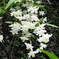 Dendrobium crumenatum Sw. Perfume essential oil. Used by Singapore memories and jetaime perfumery as therapeutic orchid oil of asia