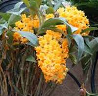 Dendrobium densiflorum Lindl. Perfume essential oil. Used by Singapore memories and jetaime perfumery as therapeutic orchid oil of asia