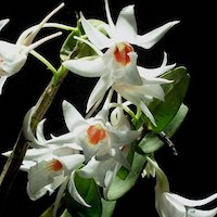 Dendrobium draconis Rchb.f. Perfume essential oil. Used by Singapore memories and jetaime perfumery as therapeutic orchid oil of asia