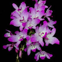 Dendrobium leonis (Lindl.) Rchb.f. Perfume essential oil. Used by Singapore memories and jetaime perfumery as therapeutic orchid oil of asia