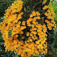 Dendrobium lindleyi Steub.  Perfume essential oil. Used by Singapore memories and jetaime perfumery as therapeutic orchid oil of asia