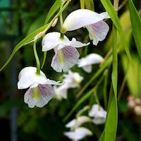 Dendrobium linearifolium Teijsm.& Binn. Perfume essential oil. Used by Singapore memories and jetaime perfumery as therapeutic orchid oil of asia