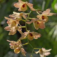 Dendrobium moschatum Perfume essential oil. Used by Singapore memories and jetaime perfumery as therapeutic orchid oil of asia