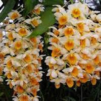 Dendrobium thyrsiflorum B.S. Williams Perfume essential oil. Used by Singapore memories and jetaime perfumery as therapeutic orchid oil of asia