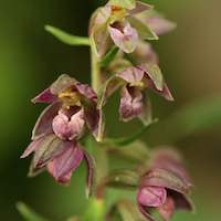 Epipactis helleborine, var. helleborine Perfume essential oil. Used by Singapore memories and jetaime perfumery as therapeutic orchid oil of asia