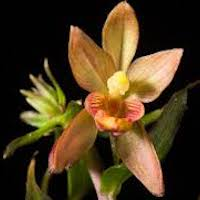 Epipactis mairei Schltr. Perfume essential oil. Used by Singapore memories and jetaime perfumery as therapeutic orchid oil of asia