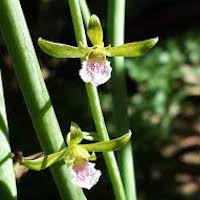 Eulophia graminea Lindl. Perfume essential oil. Used by Singapore memories and jetaime perfumery as therapeutic orchid oil of asia