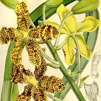 Grammatophyllum speciosum Blume Perfume essential oil. Used by Singapore memories and jetaime perfumery as therapeutic orchid oil of asia