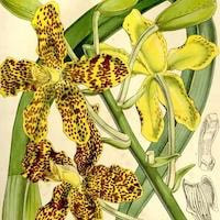 Pseudorchis albida orchids of singapore perfume workshop team building ingredient singapore great scent fragrance