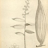 Habenaria aitchisonii H.G. Reich. Perfume essential oil. Used by Singapore memories and jetaime perfumery as therapeutic orchid oil of asia