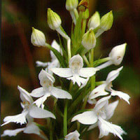 Habenaria dentata (Sw.) Schltr. Perfume essential oil. Used by Singapore memories and jetaime perfumery as therapeutic orchid oil of asia