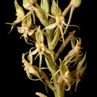 Habenaria stenopetala Lindl. Perfume essential oil. Used by Singapore memories and jetaime perfumery as therapeutic orchid oil of asia