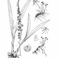 Liparis fargesii Finet Perfume essential oil. Used by Singapore memories and jetaime perfumery as therapeutic orchid oil of asia