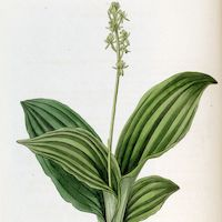 Liparis nervosa (Thunb.) Lindl.  Perfume essential oil. Used by Singapore memories and jetaime perfumery as therapeutic orchid oil of asia