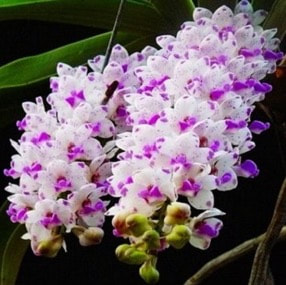 orchids scent in singapore native beautiful memories of perfume scent best aroma essential oil