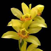 Phaius flavus (Blume) Lindl. Perfume essential oil. Used by Singapore memories and jetaime perfumery as therapeutic orchid oil of asia