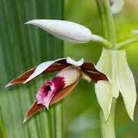Phaius tankervilleae (Banks) Blume Perfume essential oil. Used by Singapore memories and jetaime perfumery as therapeutic orchid oil of asia