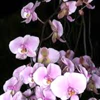 Phalaenopsis schilleriana Rchb. f. Perfume essential oil. Used by Singapore memories and jetaime perfumery as therapeutic orchid oil of asia
