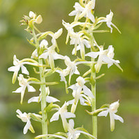 Platanthera bifolia (L.) Rich. Perfume essential oil. Used by Singapore memories and jetaime perfumery as therapeutic orchid oil of asia