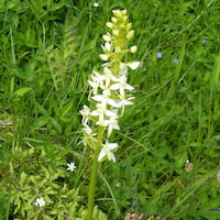 Platanthera chlorantha Cust. ex Rchb. Perfume essential oil. Used by Singapore memories and jetaime perfumery as therapeutic orchid oil of asia