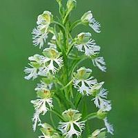 Platanthera fuscescens (L.) Kraenz Perfume essential oil. Used by Singapore memories and jetaime perfumery as therapeutic orchid oil of asia
