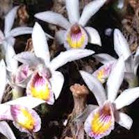 Pleione maculata (Lindl.) Lindl. & Paxton Perfume essential oil. Used by Singapore memories and jetaime perfumery as therapeutic orchid oil of asia