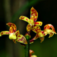 Plocoglottis javanica Blume Perfume essential oil. Used by Singapore memories and jetaime perfumery as therapeutic orchid oil of asia