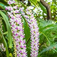 Rhynchostylis retusa (L.) Blume Perfume essential oil. Used by Singapore memories and jetaime perfumery as therapeutic orchid oil of asia