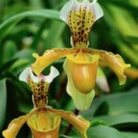 Paphiopedilum parishii (Rchb f.) Pfitzer Perfume essential oil. Used by Singapore memories and jetaime perfumery as therapeutic orchid oil of asia