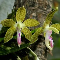 Sedirea subparishii (Z.H. Tsi) Christianson syn. Hygrochilus subparishii Z.H. Tsi Perfume essential oil. Used by Singapore memories and jetaime perfumery as therapeutic orchid oil of asia