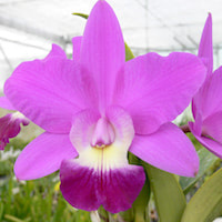Cattleya Walkeriana orchids of singapore perfume workshop team building ingredient singapore great scent fragrance