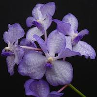 Vanda coerulea Griff. ex Lindl. Perfume essential oil. Used by Singapore memories and jetaime perfumery as therapeutic orchid oil of asia