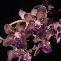 Vanda tessellata (Roxb.) Hook. ex G. Don Vanda roxburghii R. Br. Perfume essential oil. Used by Singapore memories and jetaime perfumery as therapeutic orchid oil of asia